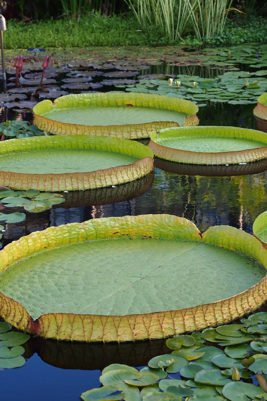 Oversized-green-lily-pad-garden-Longwood-PA
