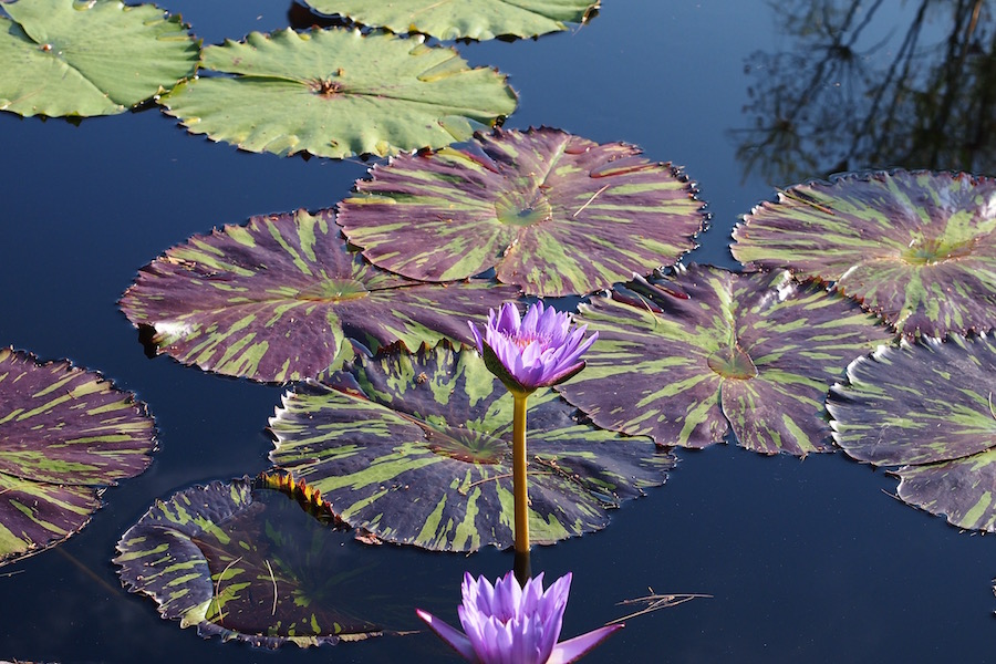 striped-lily-pads